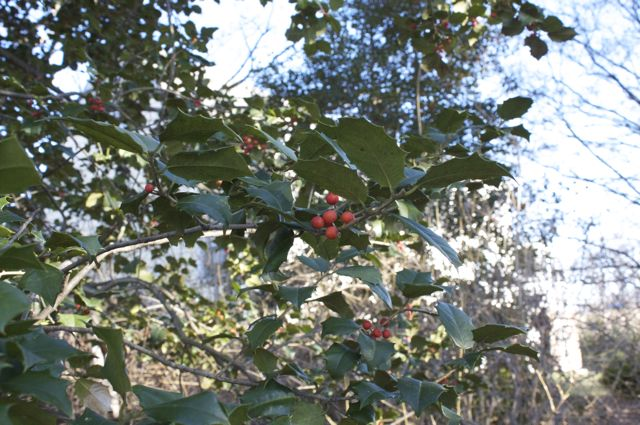 American Holly Berries