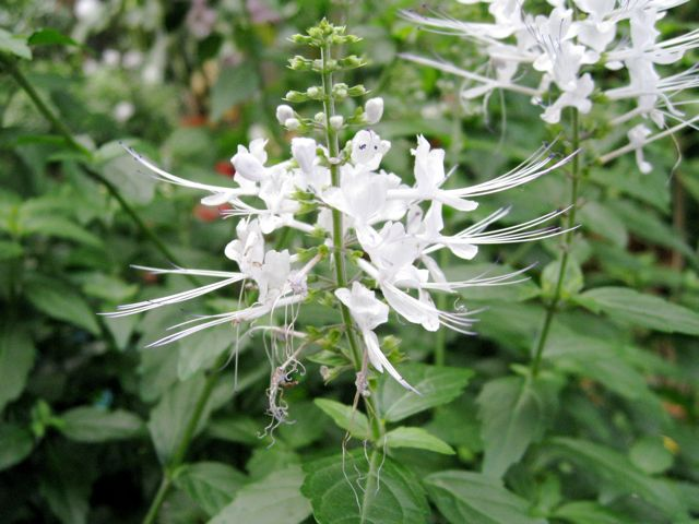 Cat's Whiskers (Orthosiphon stamineus)