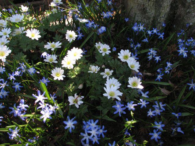 Chionodoxa forbesii & Anemone blanda 'White Splendour'