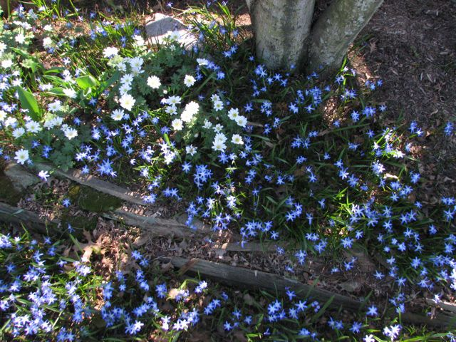 Glory of the Snow (Chionodoxa forbesii) naturalizing