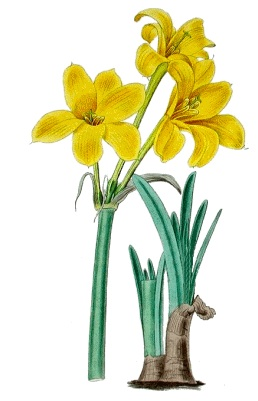 Chlidanthus fragrans (illus. from Rare Bulbs)