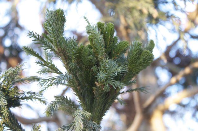 Cryptomeria japonica 'Cristata' detail