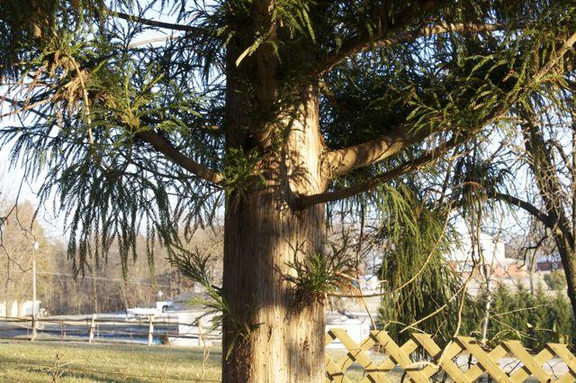 Cryptomeria japonica branches