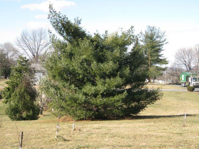 Decapitated White Pine