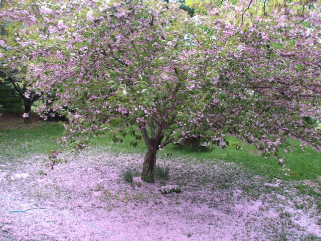 Petal Fall for the Kwanzan Flowering Cherry