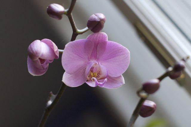 Pink Moth Orchid (Phalaenopsis)