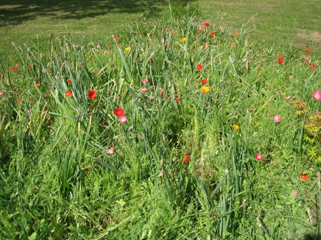 Poppies flowering after the daffodils in June