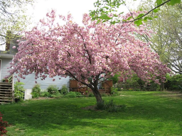Kwanzan Flowering Cherry in Full Bloom