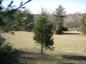 White Pine limbed up
