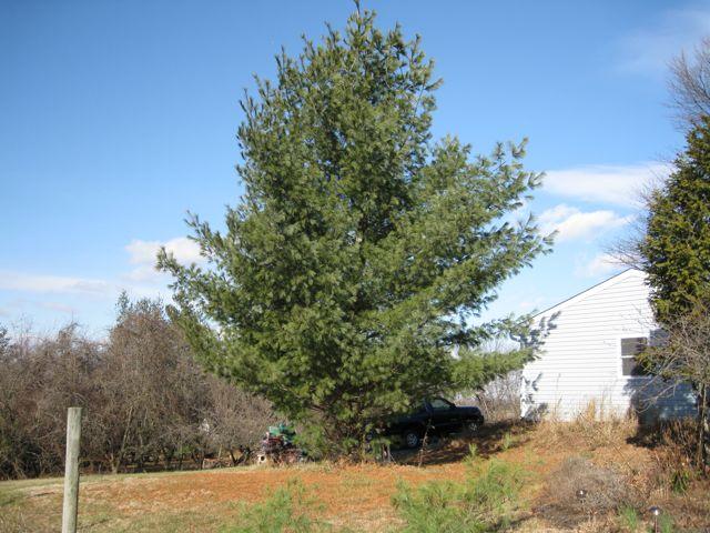 White Pine (Pinus strobus)