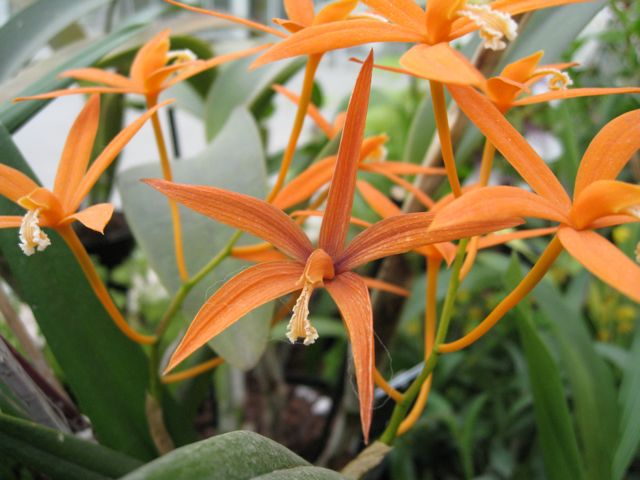 Wisley Orchid #1