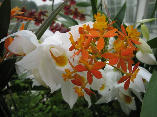 Wisley Orchids #2