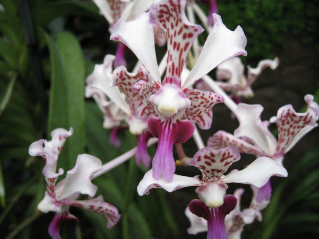 Wisley Orchids #4