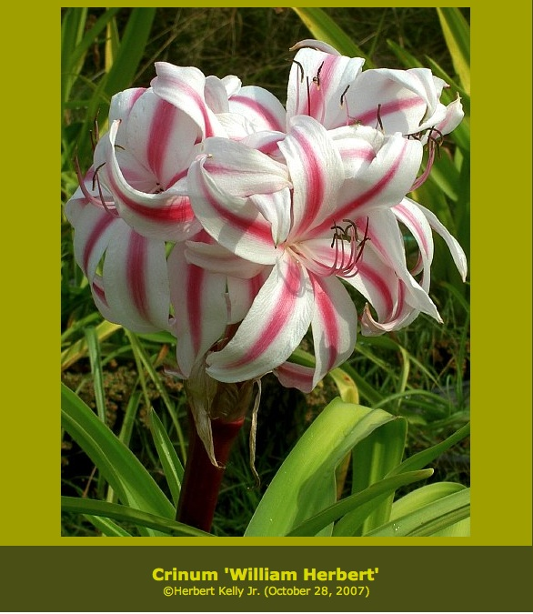 Picture from the International Bulb Society Website