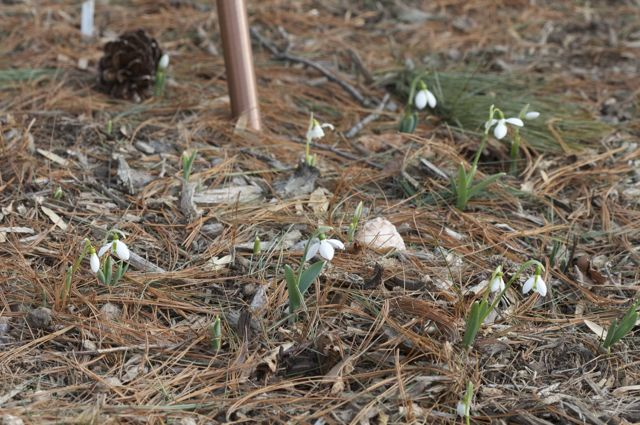 Snowdrops are Happening