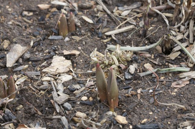 Tulips are a coming in...