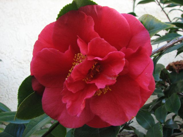 Camellia from my Mother's garden