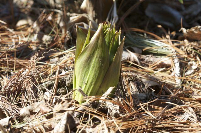 Fritillaria emerging