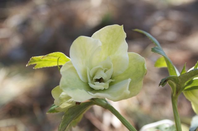 Helleborus 'Betty Rancor Seedling'