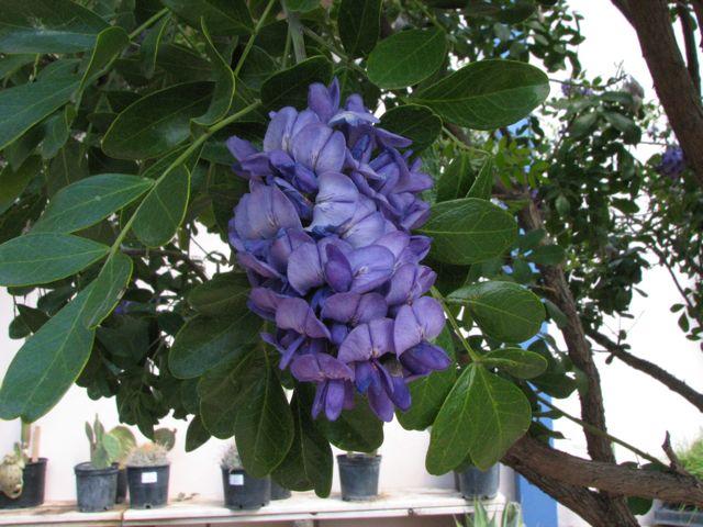 Mescal Bean (Sophora secundiflora)