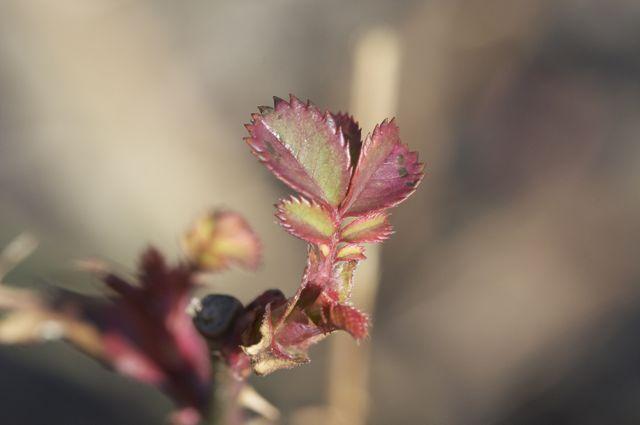 Rose Leaf emerging