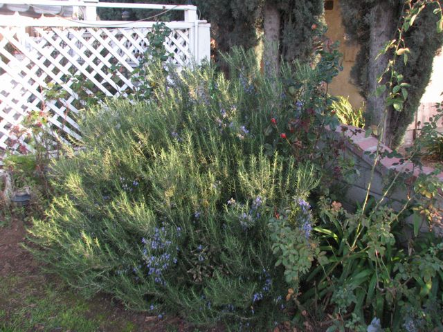 Rosemary in the front yard