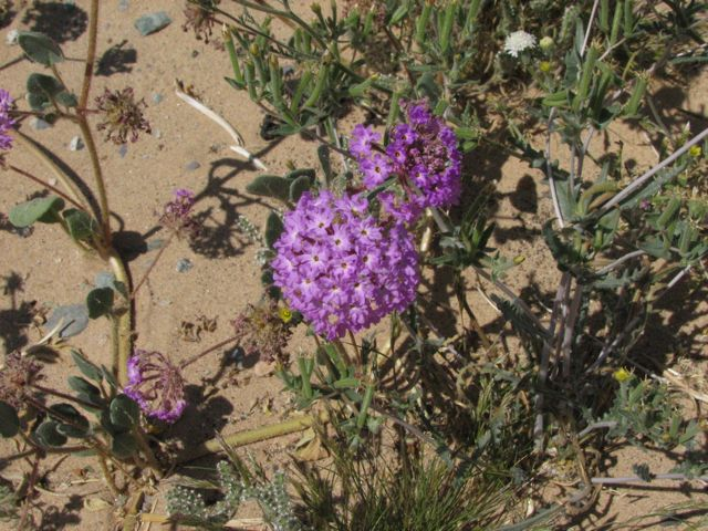 Sand Verbena (Abronia villosa)