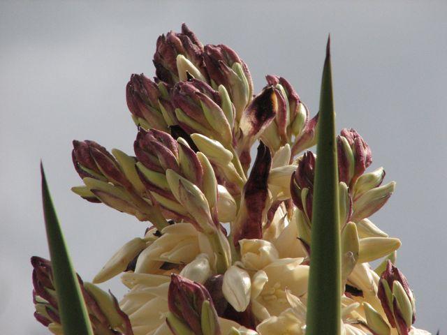 Spanish Dagger (Yucca traculeana)