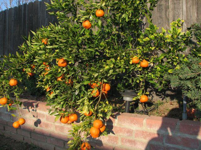Tangerines overflowing