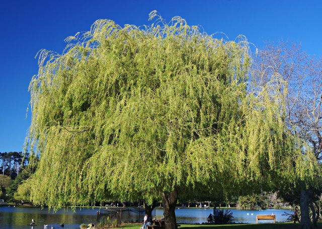 Weeping Willow (image from Wikipedia)