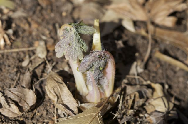 Wood's Poppy Emerging