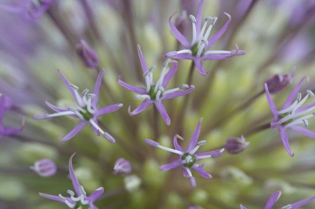 Allium rosenbachium top view
