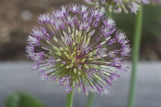 Allium rosenbachium