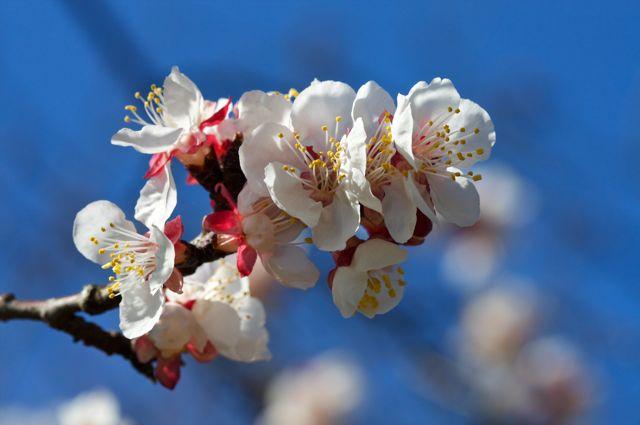 Starke's Sweetheart Apricot (Prunus armeniaca)