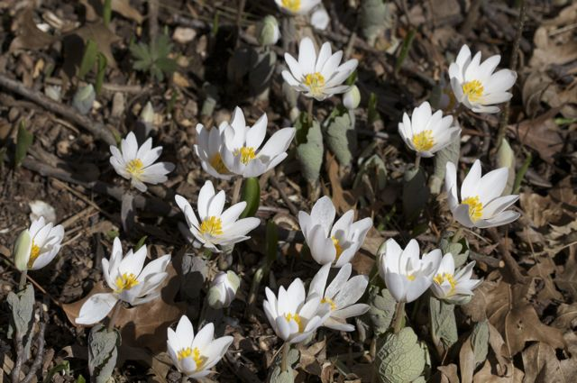 Bloodroot colony