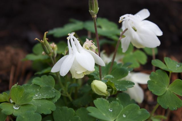 Columbine 'Cameo White' is a nice addition to go with the Anemone sylvestris