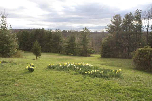 Daffodils above the pasture