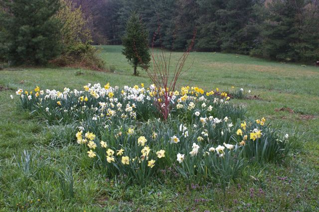 Daffodils surrounding new Coral-bark Maple