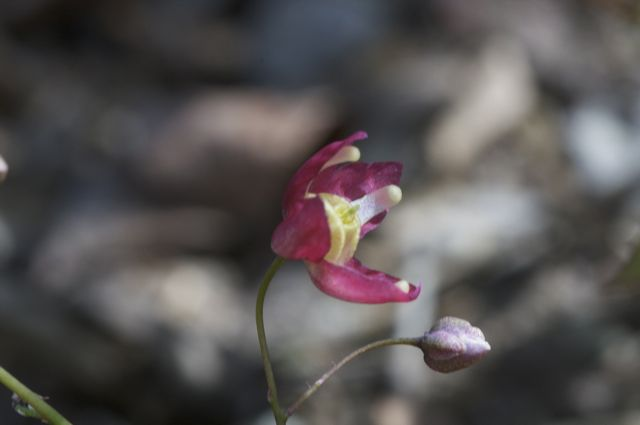 Epimedium rubrum out in the woods