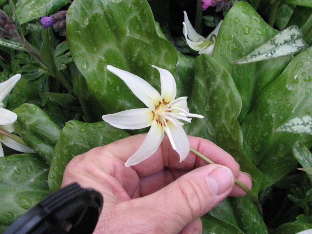 Erythronium 'White Beauty' detail