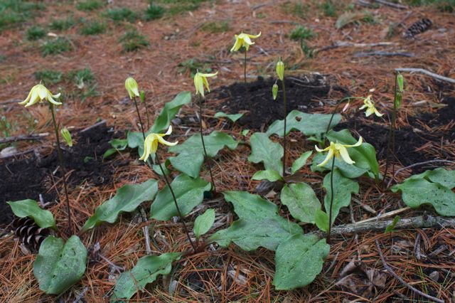 Erythronium 'Pagoda' hybrid Trout lily is more elegant than the americanum species