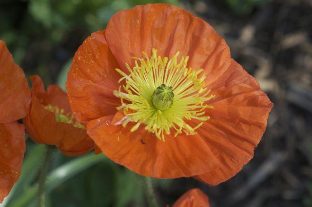 Iceland Poppy (Papaver nudicaule)