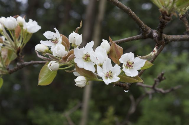 Japanese Pear blossoms