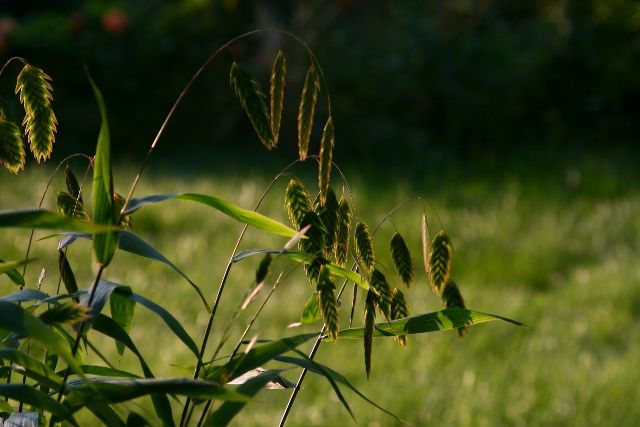 Northern Sea Oats)