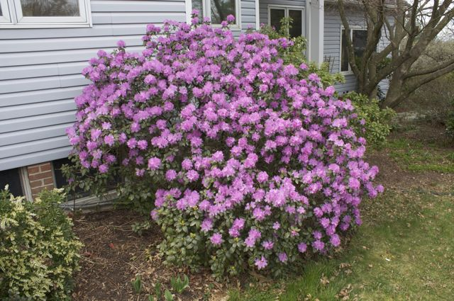 P.J.M. hybrid becomes a sizable shrub after 30 years.