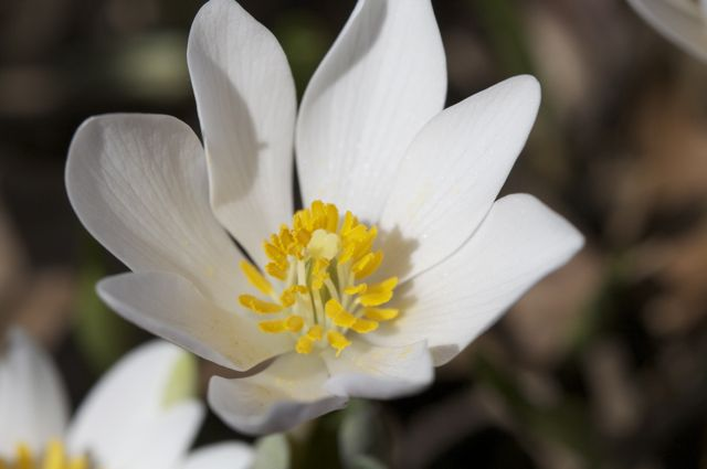 Bloodroot (Sanguinaria canadiensis)