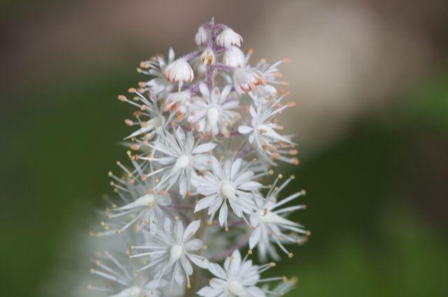 Tiarella cordifolia 'Neon Lights' blossom detail