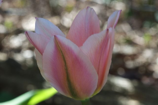 Tulips are indigenous to Turkey
