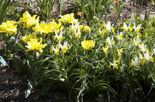 Tulip 'Monte Carlo' and Iris bucharica