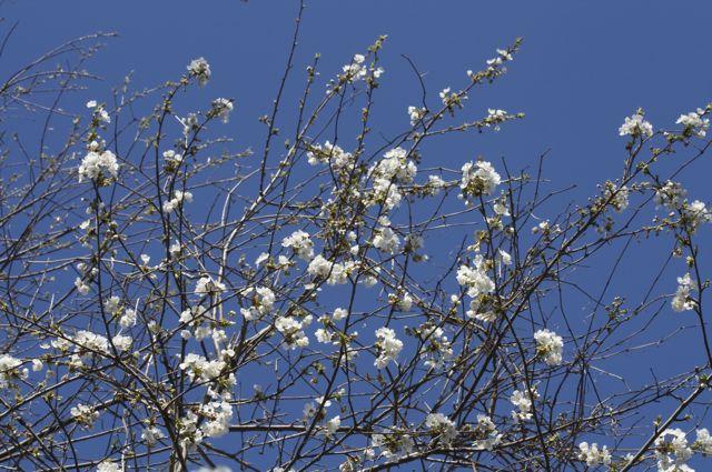 Wild Cherry branches
